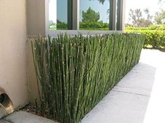 EQUISETUM hyemale 'Horsetail' Might be a good alternative to bamboo