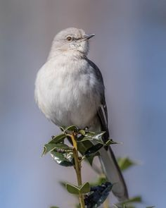 https://flic.kr/p/DbAtvw   Northern mockingbird (Mimus polyglottos)   Northern mockingbird (Mimus polyglottos)