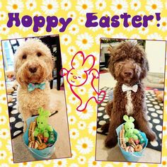 Hoppy Easter everybunny! We finally got to eat our Easter basket from @theseattlebarkery Yummy! Thanks for the treats! We hope the Easter bunny stopped by with treats too #easter #hoppyeaster #treatsgalore   Easter bow ties by @pawfectbowtique #easterbowtie   #chewnbrew #aussiedoodle #aussiedoodlesofinstagram #puppylove #puppiesofinstagram #puppy #goldendoodle #goldendoodlesofinstagram #doodleselfie #goldendoodlesofinsta #dogsofinstagram #dogstagram #doodlesofinstagram #mydogiscutest…