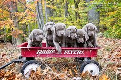Worley's Silver Feathers Labradors White Labrador Puppy, Silver Labrador Retriever, Charcoal Lab Puppies, Silver Lab Puppies, Labrador Names, Labrador Breed, Smartest Dogs, Silver Labs, Getting A Puppy