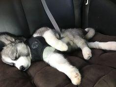 Cutest Husky ever ❤️