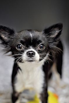 Black and white  long haired chihuahua.