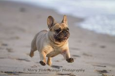 """Wheeeee, I'm flying', French Bulldog at the Beach."