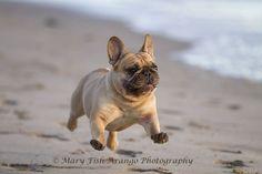 """Wheeeee, I'm flying', French Bulldog at the Beach."