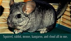 If you had ever told me before I got my chinchilla that I would one day LOVE a rodent, I would have thought you were insane!