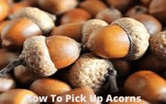 The acorns that drop from the tree could be tiring to deal with-wondering how to pick up acorns Acorn Recipe, Acorns For Sale, How To Make Flour, Termite Control, Pest Control, Healthy Oils, Oak Tree, Red Oak, Home Remedies