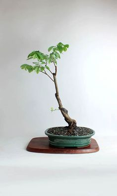 "Blueberry Bonsai Tree ""Summer'16 Fruiting Collection"" from LiveBonsaiTree by LiveBonsaiTree on Etsy"