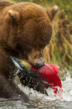 A grizzly bear catching a sockeye salmon