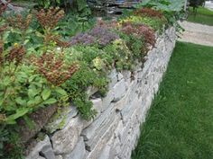 Dry Stone Walling: Sedum on top of a limestone wall