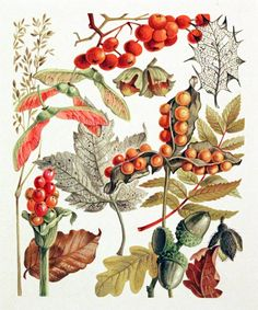 Autumn fruit - great variety includes Acer, Alum, Acorns (wonderful alliteration in this illustration)