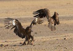 Tawny Eagle and Steppe Eagle