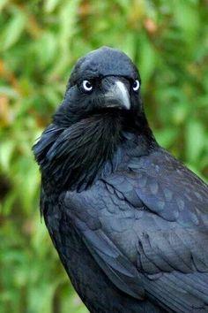 Raven jack crow