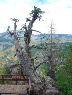 ~ 3200 Yr Old Jardine Juniper Tree ~ Logan Canyon, Utah....