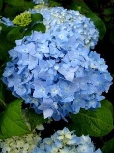Hydrangea Macrophylla, Nikko, Socha, Flowers, Plants, Gardening, Lawn And Garden, Hydrangeas, Plant