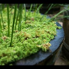 Water fern (Azolla)