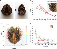 Pine cones fold their scales when it rains to prevent seeds from short-distance…