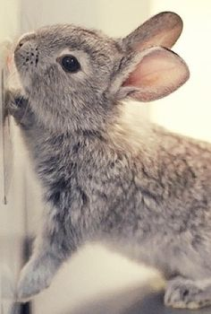 For those who are searching for a furry companion that is not only extremely cute, but simple to keep, then look no further than a pet bunny. Hamsters, Cute Baby Animals, Animals And Pets, Funny Animals, Baby Bunnies, Cute Bunny, Grey Bunny, Bunny Rabbits, Easter Bunny