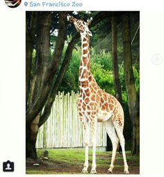 @ San Francisco Zoo San Francisco Zoo, Giraffes, Animals, Animales, Animaux, Animal Memes, Animal, Animais, Dieren
