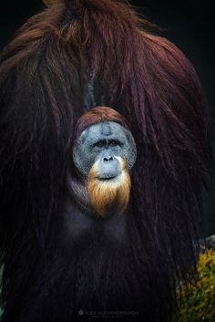 'Tribal Leader Photo by Alex Alexandrovich -- National Geographic Male Orangutan Primates, Mammals, Mundo Animal, My Animal, Wildlife Photography, Animal Photography, Beautiful Creatures, Animals Beautiful, Animals And Pets