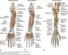 A. Median nerve. B. Ulnar nerve. C. Radial nerve.