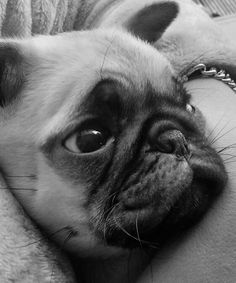 Mr Bumble the cute little pug (9 weeks)