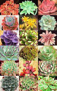 Echeveria-Variedade-Mix-Rara-Planta-Exotica-suculento-Sementes-Floracao-Pote-20-Sementes