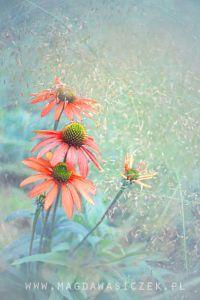 Echinacea....