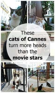 These cats of Cannes, France, are more famous than the movie stars. Click here for story and photos: http://www.traveling-cats.com/2016/05/cats-from-cannes-france.html (Cannes, France, movie stars, cats, famous, cat photos)