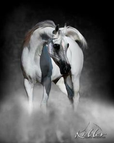 Gorgeous Arabian #horses