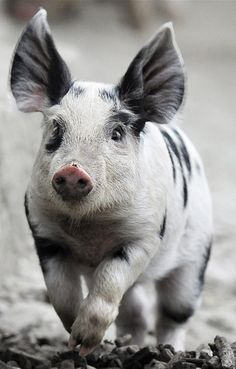 Turopolje pig breed is highly endangered. The patchy-looking pig originated in the Turopolje region of Croatia and is thought to be one of the oldest breeds of swine in Europe.