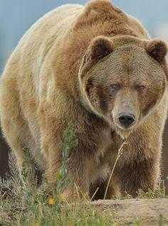 radivs: Big Grizzly par Steve Ross