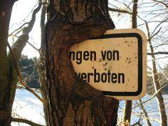 Hungriger Baum an der Ilz