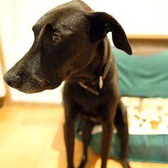 Okay, say cheese...look this way! カメラ嫌いなあべさん #dog #Doberman #mix #abel #Rescued  #rescuedog #Germany #family #love  #ドッグ #犬 #わんこ #いぬ #ドーベルマン #ミックス犬 #アベル #大型犬 #犬のいる生活 #保護犬出身 #愛犬 #家族 #殺処分ゼロ #まっくろくろすけ #おすわり #座る犬