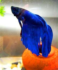 Blue_Fighting_fish_by_Fishybobo