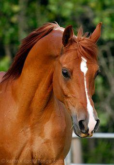 Arabian horse - title The Red Fury - by Karen K