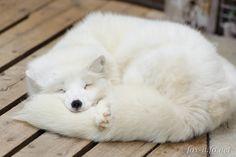 しっぽ枕ホッキョクギツネ | ホッキョクギツネ(白) | キツネ写真館