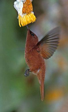 Juan Fernandez Firecrown (Sephanoides fernandensis)