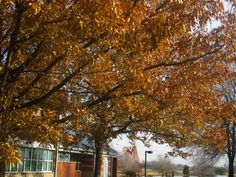 Autumn colors on a couple of sawtooth oak trees in Owensboro Community and Technical College.  December 3, 2014