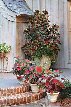 Red 'Freida Hemple' caladiums, a spider plant, and a 'Little Gem' Southern magnolia decorate a large pot in the corner and hide the downspout. Smaller pots of the same caladiums tie together the grouping.  Learn More about Magnolias