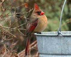 pagewoman: Female Cardinal by Nita Bird Pictures, Pictures To Draw, Cool Pictures, Cardinal Pictures, Beautiful Pictures, Little Birds, Love Birds, Beautiful Birds, Cardinal Birds