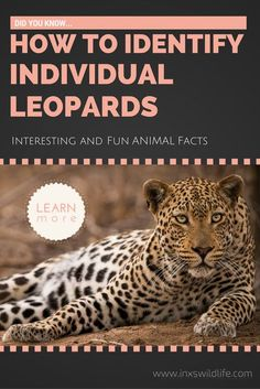 Did you know. Get more fun & interesting facts about wild animals. In this post you will learn how to identify individual leopards. Fun Facts About Animals, Animal Facts, Wildlife Photography Tips, Leopard Spots, Leopards, African Safari, More Fun, Did You Know, Interesting Facts