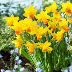 Miniature Daffodil Bulbs Jetfire, Narcissus cyclamineus - Fall Bulbs from American Meadows