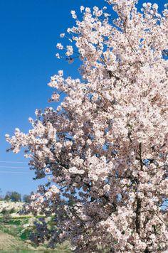 Cyprus Flowers Almond trees