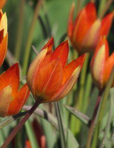 Tulipa whittallii (botanical tulip)