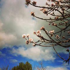 Almond blossoms Almond Blossom, Blossoms, Clouds, Garden, Outdoor, Outdoors, Flowers, Garten, Lawn And Garden