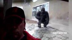 Funny video - Big gorilla attacks selfie man