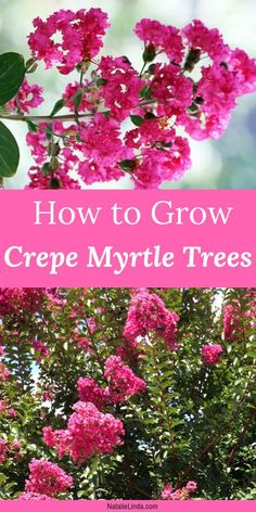 , Crepe Myrtle trees are some of the hardiest and low-maintenance flowering trees around. Learn how to grow and take care of crepe myrtles so you can en. , How to Grow Crepe Myrtle Trees Organic Gardening, Gardening Tips, Pallet Gardening, Gardening Vegetables, Urban Gardening, Crepe Myrtle Trees, Crepe Myrtle Bush, Cactus, Baumgarten