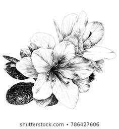 A Bouquet Of Azalea Flowers Sketch Vector Graphics Monochrome Drawing Flower Sketches Azalea Flower Flower Drawing