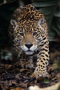 Panthera onca - Jaguar by Thierry Montford Animals And Pets, Funny Animals, Cute Animals, Beautiful Cats, Animals Beautiful, Jaguar Animal, Tier Fotos, Animal Wallpaper, Big Cats