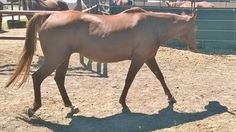 Check out Shasha's profile on AllPaws.com and help her get adopted! Shasha is an adorable Horse that needs a new home. https://www.allpaws.com/adopt-a-horse/quarterhorse/4941302?social_ref=pinterest